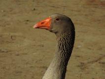 Goose Closeup Stock Image