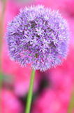 Closeup of gorgeous inflorescence of garlic Royalty Free Stock Photo