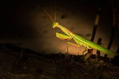 Closeup of Gorgeous Praying Mantis Looking At Camera Royalty Free Stock Photography