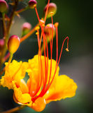 Closeup Of Gorgeous Single Mexican Bird of Paradise Flower. The brilliant colors of the Mexican Bird of Paradise flower in the graden Royalty Free Stock Photography