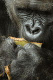 Closeup Gorilla Eating Royalty Free Stock Photo