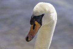 Closeup of graceful swan face looking at camera, details in eye, Royalty Free Stock Photo