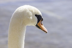 Closeup of graceful swan head, details in eye, face and soft fea Royalty Free Stock Photo