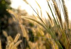 Closeup Gramineae grass. Close up Gramineae grass background Stock Photo