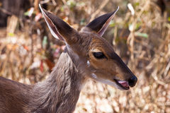 Closeup of Grant�s gazelle Royalty Free Stock Image