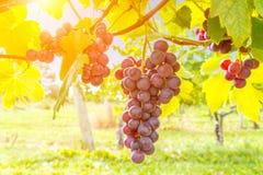 Closeup on grape bunch growing in a sunny garden Royalty Free Stock Photos