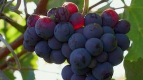 Closeup of grape bunch with sunbeams on berries in vineyard