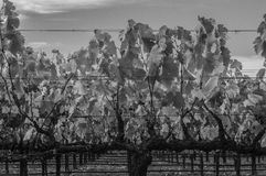Closeup of grape vine. Black and white. Wine. Gnarled branches. Wires Royalty Free Stock Image