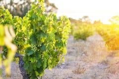 Closeup of grapes. At sunrise stock photos