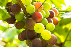 Closeup of grapes in a vineyard Stock Photo