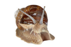 Closeup grapevine snail Stock Photo