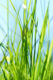 Closeup grass against the sky Stock Images