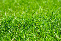 Closeup of grass. Blades on a lawn Royalty Free Stock Images