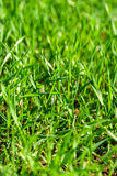 Closeup of grass. Blades on a lawn Royalty Free Stock Image