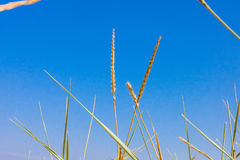 Closeup grass on a blue sky on background. Grass on a blue sky on background Royalty Free Stock Photo