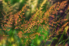 Closeup of grass ears. Colorful closeup of grass ears - nature background Royalty Free Stock Image