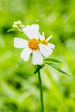 Closeup grass flower Stock Image