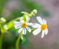 Closeup grass flower Royalty Free Stock Photo