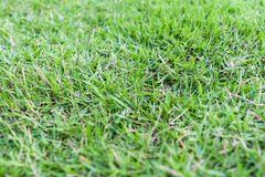 Closeup grass. In the garden Royalty Free Stock Image