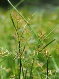 Closeup of grass and grass flowers. With blurry green background (selected focus Stock Photo