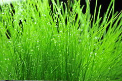 Closeup grass. 2014.5.31 closeup green grass Royalty Free Stock Photos