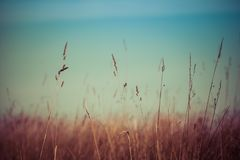 Closeup of grass with seeds. Closeup of grass with seeds on blurred background stock photo