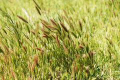 Closeup of grass in wind. Natural background Stock Image