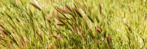 Closeup of grass in wind. Natural background Stock Images