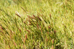 Closeup of grass in wind. Natural background Royalty Free Stock Image