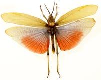Closeup of Grasshopper Stock Photo