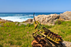 Closeup of a  grasshopper Royalty Free Stock Images