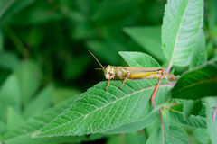 Closeup of Grasshopper on Flower Leaf Royalty Free Stock Photography