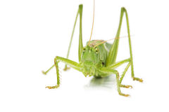 Closeup of an grasshopper from front Royalty Free Stock Image