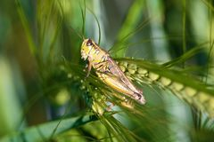 Closeup of of a grasshopper on green barely heads.  Stock Photography