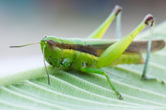 Closeup of grasshopper on the leaf Stock Photo
