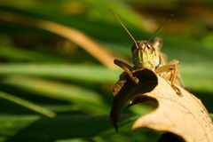Closeup of a Grasshopper Perchedvon a Leaf Royalty Free Stock Photography