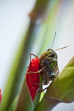 Closeup of grasshopper on red gladioli flower. Sharp and detailed Royalty Free Stock Image