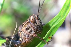Closeup grasshopper sits on blade of grass Royalty Free Stock Images