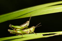 Closeup grasshoppers mating Royalty Free Stock Photo