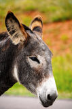 Closeup of a Gray Burro Stock Photography