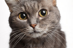 Closeup gray cat with big round eyes Stock Photos