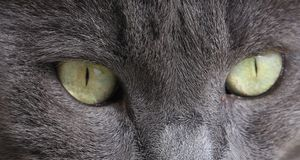 Closeup of gray cat with green eyes. Stock Photography