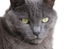 Closeup of gray cat with green eyes. Stock Photos
