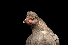 Closeup Gray Chicken Head Curious Looks Isolated on Black Background Stock Photography