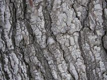 Closeup of gray colored tree bark royalty free stock images
