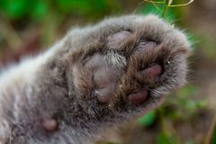 Closeup of a gray furry cat paw. Gray cat`s paw on a green background royalty free stock images