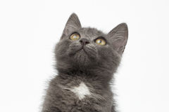 Free Closeup Gray Kitty Looking Up On White Stock Photography - 54394072