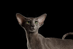 Closeup Gray Oriental Cat Green eyed Looking up, Black Isolated Stock Images