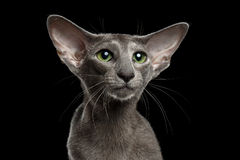Closeup Gray Oriental Cat Green eyed Looking up, Black Isolated Stock Photos