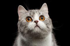 Closeup Gray Scottish Straight Cat Looking up  on Black Stock Photography